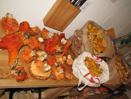 chanterelles and lobster mushrooms