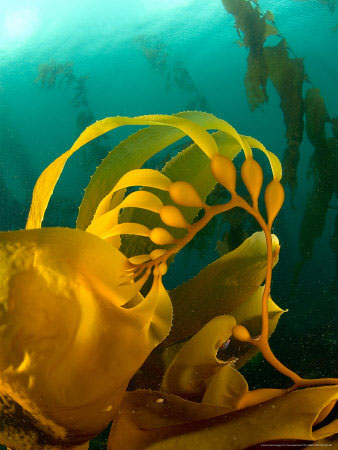 Giant kelp forest photo by Tobias Bernhard
