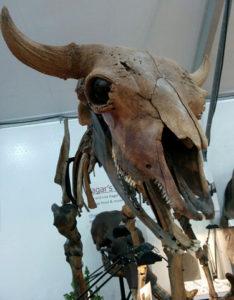 aurochs_skeleton